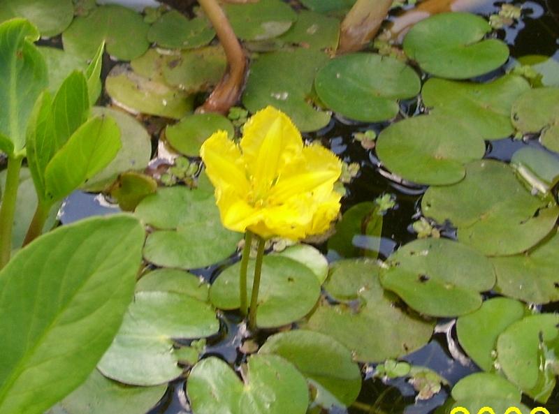 Нимфейник (болотноцветник)