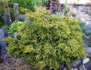 Кипарисовик горохоплодный