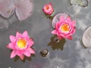 Pugmaea Rosea