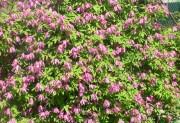 Markham's Pink